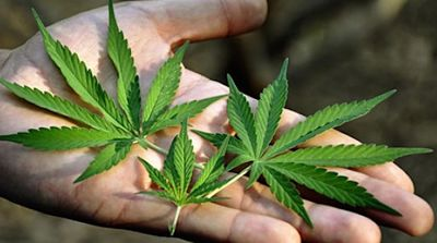 Campania, Topo (Pd): in vigore legge uso Cannabis