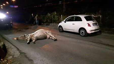 mucca-travolta-da-auto-2