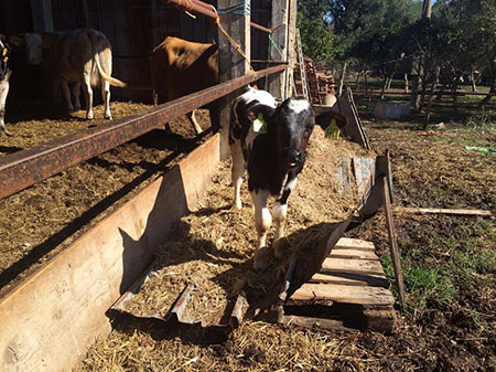 mucche-bovini