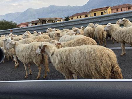 pecore-in-autostrada