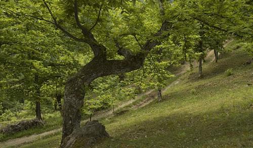 albero_castagno