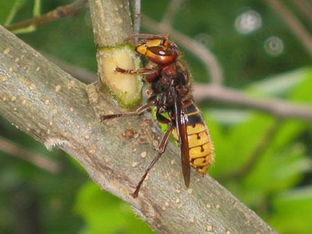 calabrone-vespe