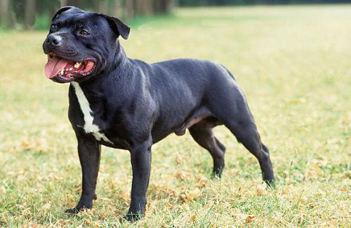 cane-staffordshire-bull-terrier