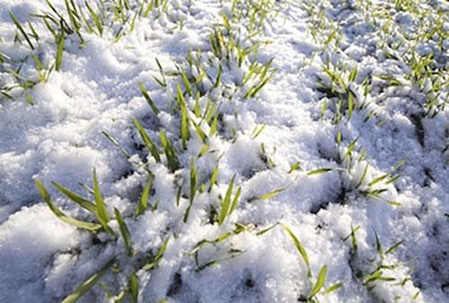 neve-piante-gelo