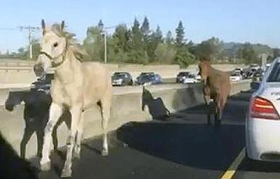 Salerno: cavalli in tangenziale, tragedia sfiorata